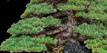 p1 bonsai2
