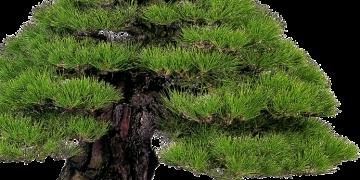 p1 bonsai3